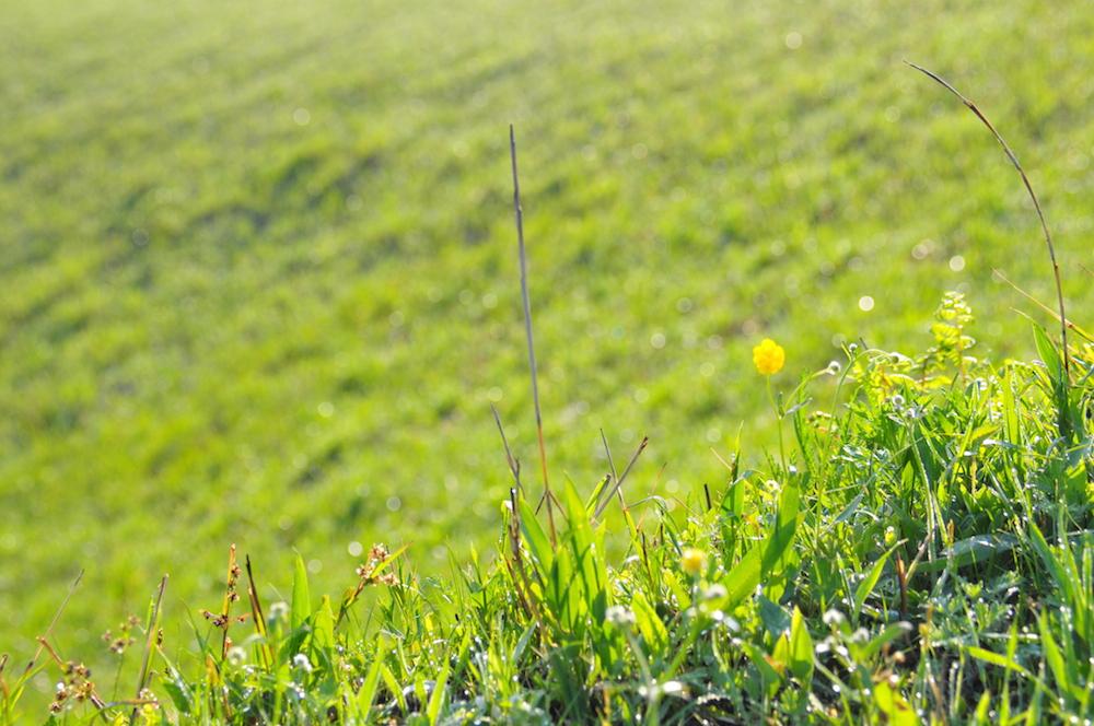 野焼き後に生えてきた草
